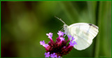 Cabbage White by tigger3, photography->butterflies gallery