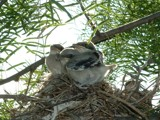 Baby Shrikes by seast, photography->birds gallery
