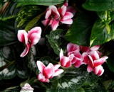 Peppermint Cyclamen by trixxie17, photography->flowers gallery