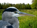 I'm Mr. Blue, how do you do? by Paul_Gerritsen, photography->birds gallery