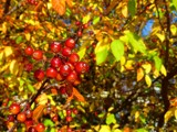 Fall Berries by Galatea, photography->nature gallery
