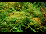Ferns by ThisIsMOC, Photography->Flowers gallery