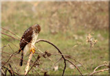 Coopers Hawk by tigger3, photography->birds gallery