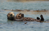 Sea Otter by Paul_Gerritsen, photography->animals gallery