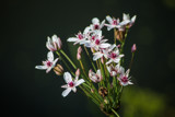 Flowering Rush by Pistos, photography->flowers gallery
