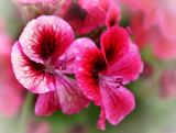 Geranium by LynEve, photography->flowers gallery