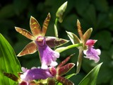 Orchids event: Mauve 2 by ppigeon, Photography->Flowers gallery