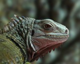 my pet iguana by englund, Photography->Pets gallery