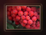 Autumn - October 5, 2008 - Berries by nmsmith, Photography->Macro gallery