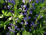 Blue Wild Indigo by trixxie17, photography->flowers gallery