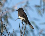 Black Phoebe by garrettparkinson, photography->birds gallery