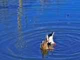 Ducks a-dabblin' by jsnaher, photography->birds gallery