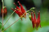 Columbine crazy! by wheedance, photography->flowers gallery