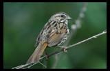 Song Sparrow by garrettparkinson, Photography->Birds gallery