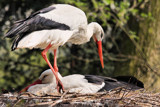 Storks by Paul_Gerritsen, Photography->Birds gallery