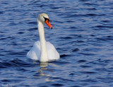 Grace On Blue _ The Mute Swan by tigger3, photography->birds gallery