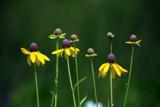 Ottawa Foofy by Jimbobedsel, Photography->Flowers gallery