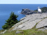 Monhegan: The King by Lithfo, Photography->Birds gallery