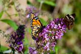 True Love by metpin777, Photography->Butterflies gallery