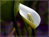 Calla des marais-Swamp Calla by noranda, Photography->Flowers gallery