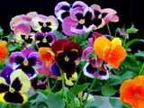 Pansy Riot by Pistos, photography->flowers gallery