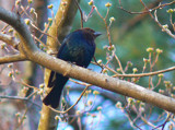 Cowbird by JEdMc91, Photography->Birds gallery