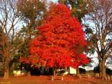 Fire Tree by jojomercury, photography->landscape gallery