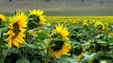 Sunflowers 3 by LynEve, Photography->Flowers gallery