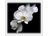 White Orchids 1 by LynEve, Photography->Flowers gallery