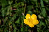 Sweet Little Buttercup by braces, Photography->Flowers gallery