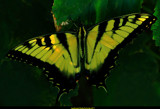The Swallowtail by tigger3, photography->butterflies gallery