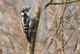 Downy Woodpecker by photog024, Photography->Birds gallery