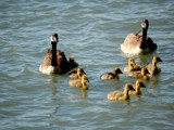 Family That Swims Together Stays Together by gerryp, Photography->Birds gallery