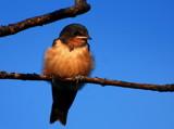 fledgling by solita17, Photography->Birds gallery