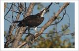 The Catch by garrettparkinson, Photography->Birds gallery
