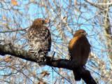 Two Hawks by brandondockery, photography->birds gallery