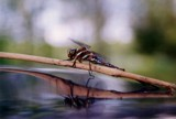 Dragonfly Reflection by jmar, Photography->Insects/Spiders gallery