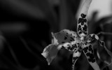 Black and White orchid. by VeraVardig, Photography->Flowers gallery