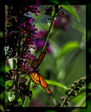 The Viceroy Butterfly #2 by tigger3, photography->butterflies gallery