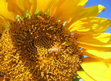 Sunflower Husbandry by Nikoneer, photography->flowers gallery