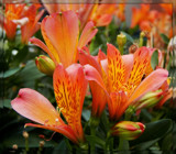Inca Mambo Peruvian Lilies by trixxie17, photography->flowers gallery
