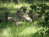 Bighorns in the Black Hills by Gergie, Photography->Animals gallery