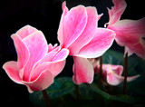 Cyclamen by LynEve, photography->flowers gallery