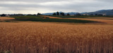 Wheatfields Forever!! by verenabloo, Photography->Landscape gallery