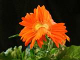 Mutant orange flower! :-) by JQ, Photography->Flowers gallery