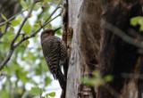 Woodpecker by Pistos, photography->birds gallery