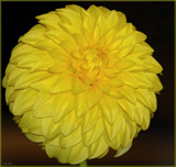 Dahlia Beautiful_#2 by tigger3, photography->flowers gallery