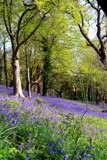 Bluebells by lindala, Photography->Flowers gallery