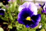 Foofy Pansy by PamParson, Photography->Flowers gallery