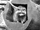 Coon by Ramad, contests->b/w challenge gallery